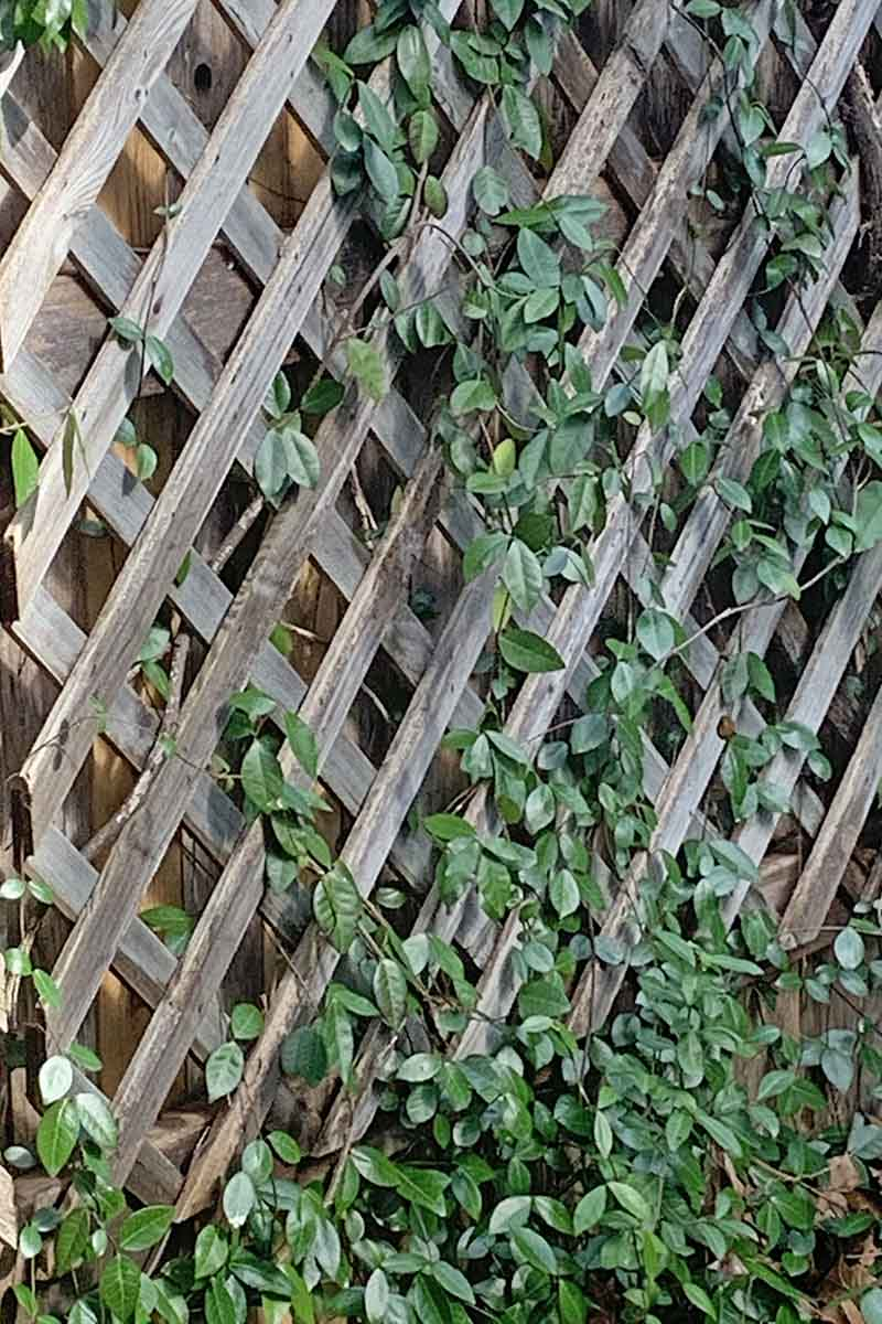 A close up vertical picture of Asiatic jasmine climbing up a wooden trellis.