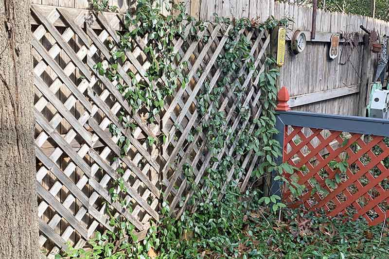Asiatic jasmine plant with dark green leaves shown growing up a trellis on a wooden fence with garden implements and fencing in the background.