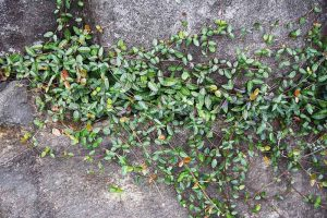 How to Grow Asiatic Jasmine
