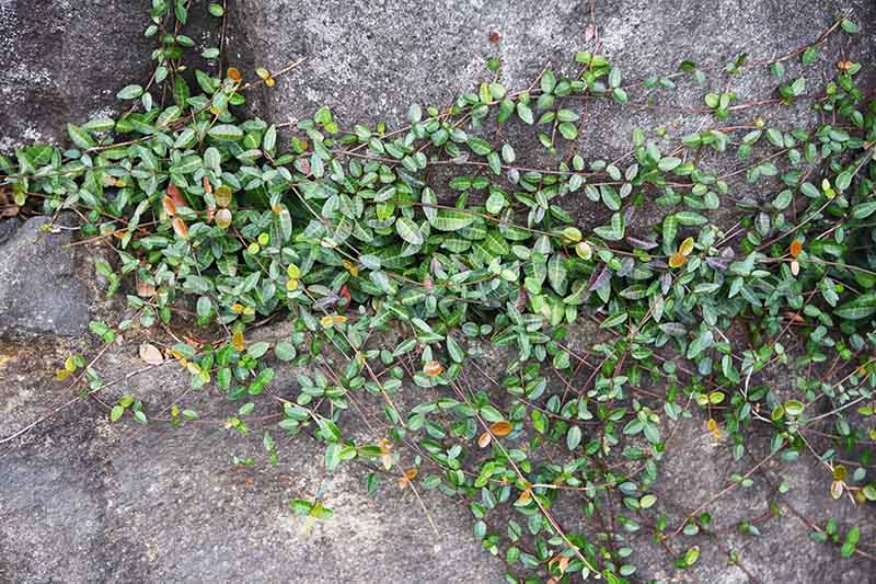 Asiatic jasmine growing as a ground cover over a paved surface showing dark green and variegated leaves in light sunshine.