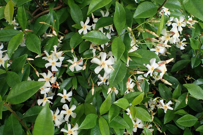 A close up of the small white flowers of Asiatic jasmine growing amongst dark green, thick foliage fading to soft focus in the background.