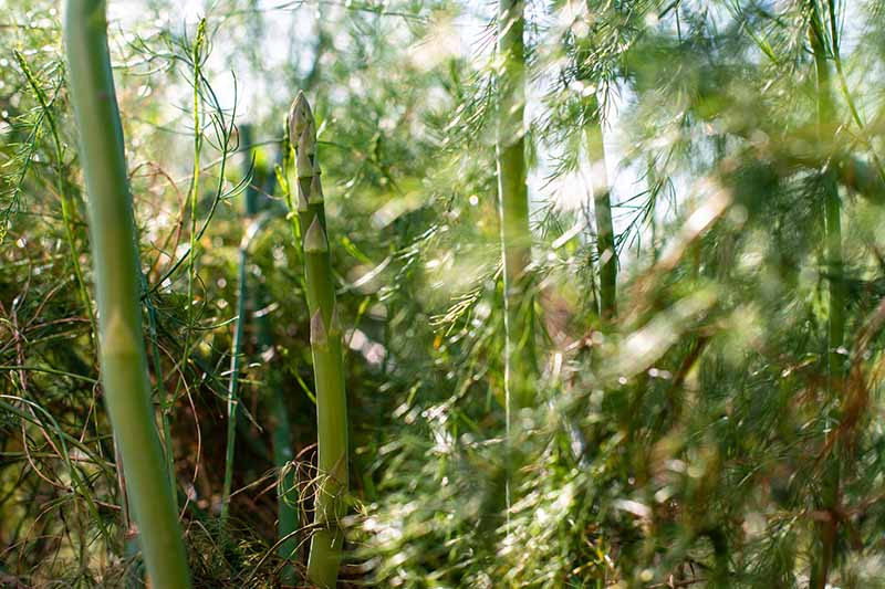 A close up of asparagus spears starting to push through the ground surrounded by green fern-like foliage in bright sunshine fading to soft focus in the background.