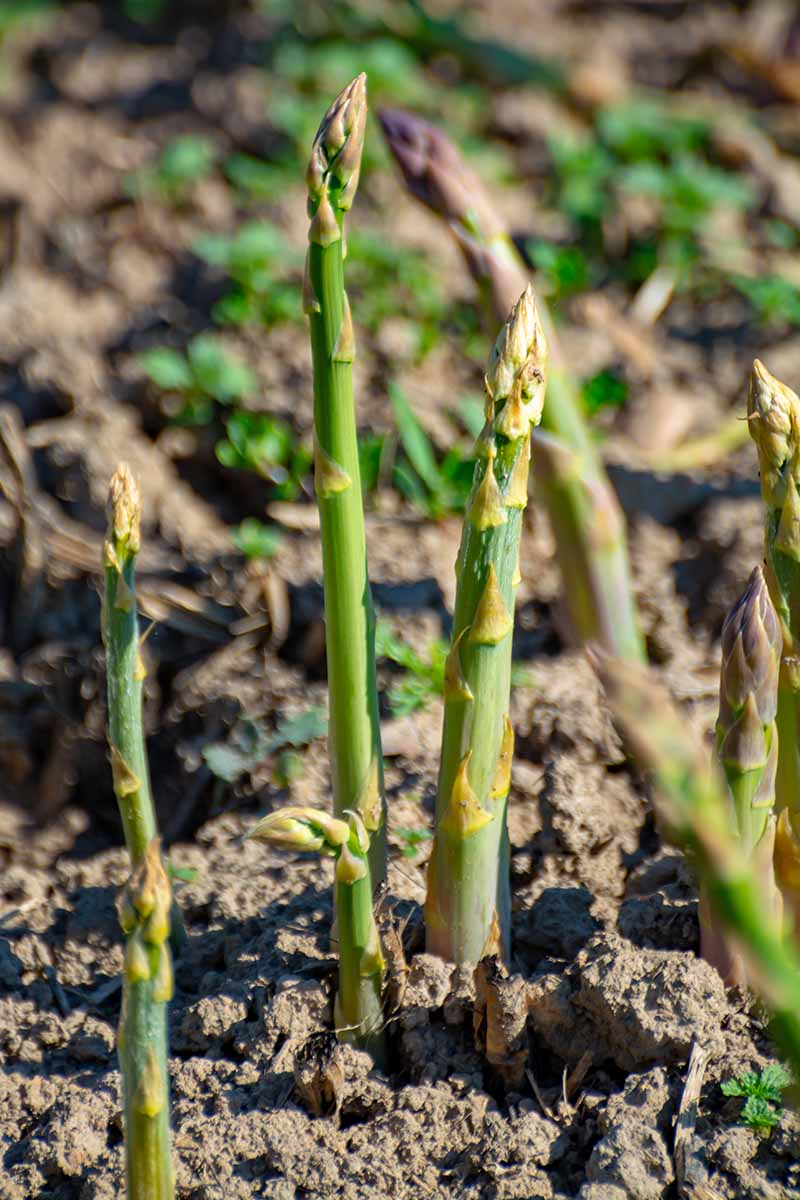 A vertical picture of asparagus spears growing out of rich soil in bright sunshine, fading to soft focus in the background.