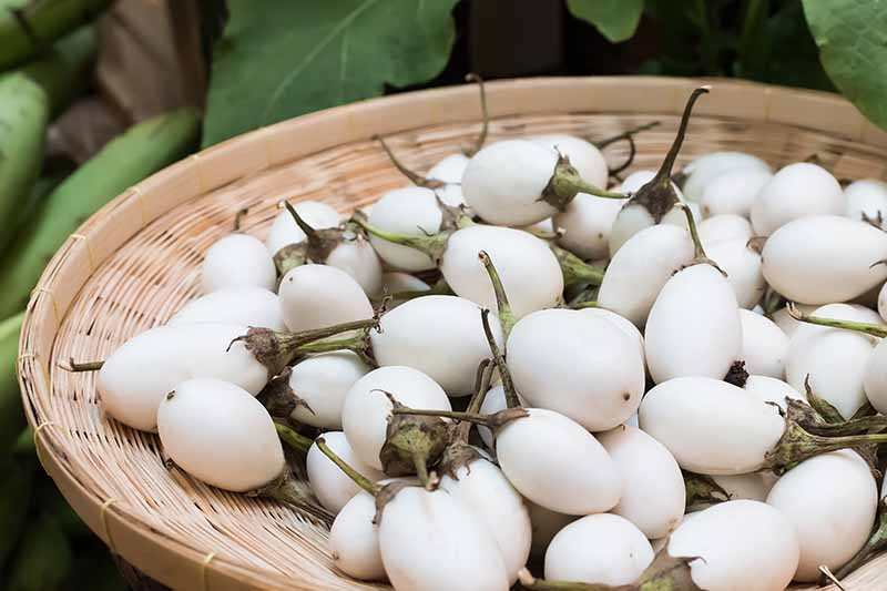 A close up of small white eggplants with creamy skin set in a basket with green foliage in soft focus in the background.