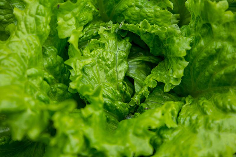 A close up of a Batavia lettuce with lightly frilly, bright green leaves.