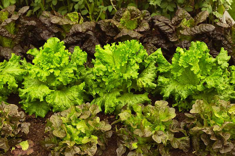 Three different types of Batavian lettuce growing in rows in the garden. To the top of the frame is a red variety, in the middle a frilly green variety, and to the bottom of the frame a light red variety with soft leaves.