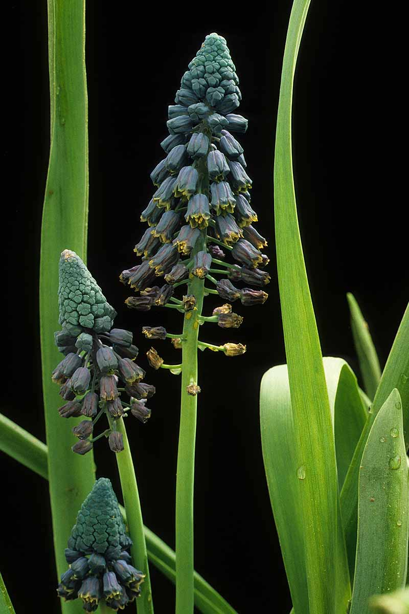 A vertical close up of the 'Bellevalia' variety of grape hyacinth with deep green flowers and light green foliage on a black background.