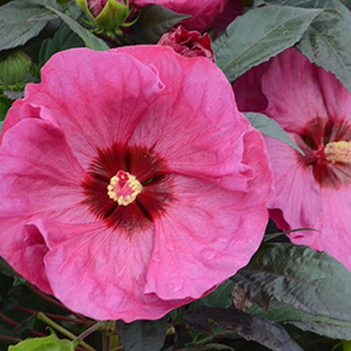 A close up of the flower of the 'Berry Awesome' hibiscus plant, with slightly ruffled, large pink petals with a red central eye, surrounded by dark green foliage.