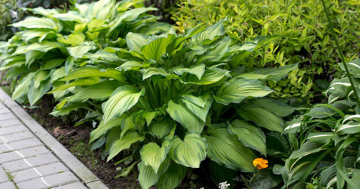 The 19 Best Hosta Varieties For A Shady Yard Gardener S Path