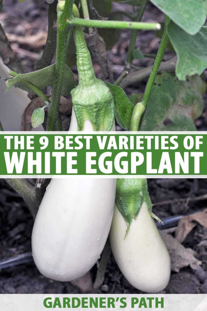 A vertical picture of white eggplants growing in the garden with long, thin fruits in creamy white surrounded by green foliage. To the center and bottom of the frame is green and white text.