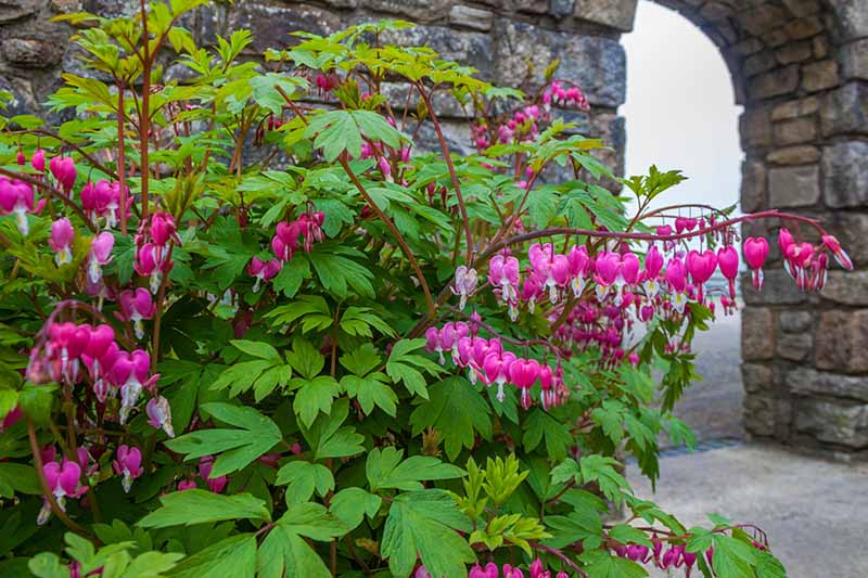 A large bleeding heart plant, in full bloom with pink flowers growing in front of a large stone wall with an archway in the background.