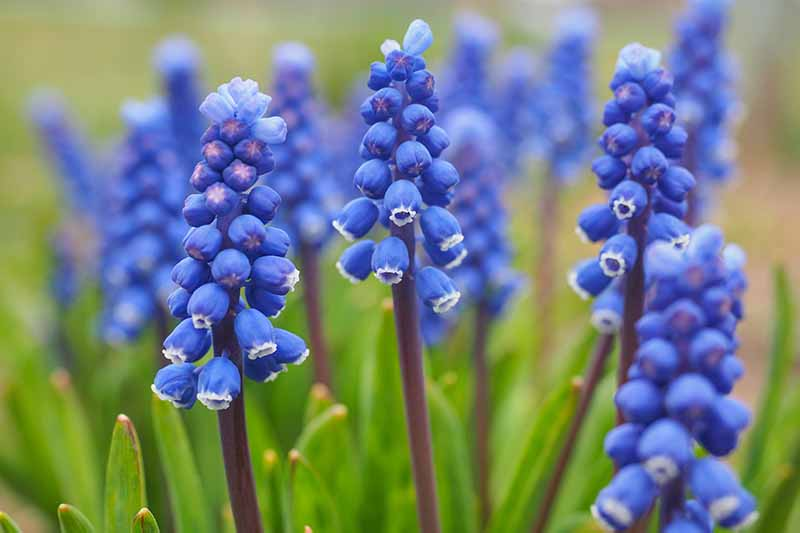A close up of blue grape hyacinth flowers with white edging, on long stems with foliage in soft focus in the background.