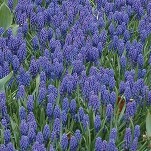 A close up of the 'Blue Grape' variety of hyacinth growing in a field with bright blue flowers surrounded by upright green foliage.
