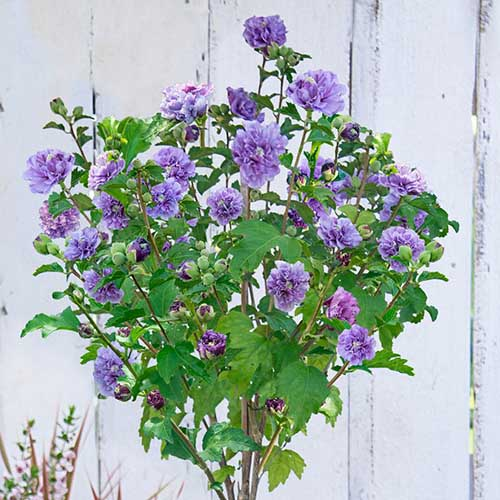 A small upright shrub with bright green leaves and delicate purple flowers set against a white wooden background. This plant is the H. syriacus 'Blueberry Smoothie' variety.