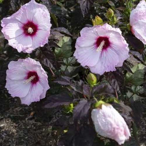 A close up of the pink, slightly ruffled flowers with a dark red central eye of the 'Blush' hibiscus variety, surrounded by dark green foliage.