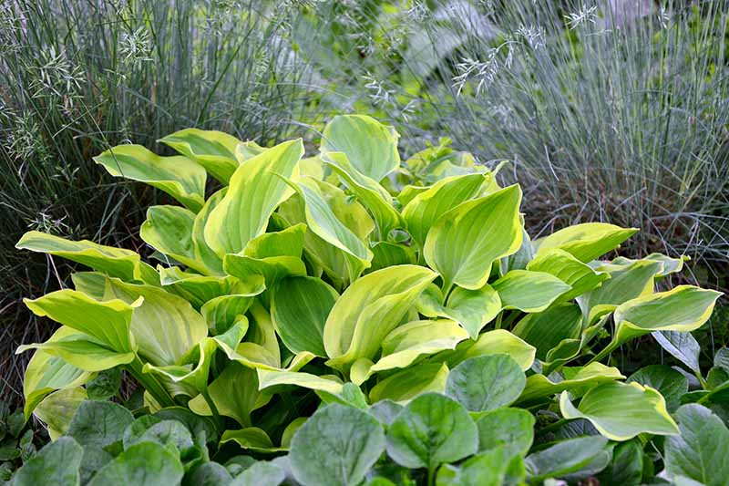 A garden scene with ornamental grasses and 'Golden Tiara' hosta variety growing in the foreground. The green and gold heart shaped leaves provide a dramatic contrast with the greenery surrounding it.