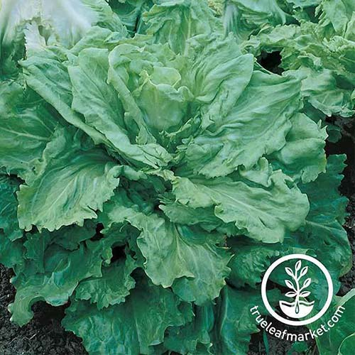 A close up of a large 'Broadleaf Batavian' growing in the garden with dark green slightly ruffled leaves. To the bottom right of the frame is a white circular logo with text.