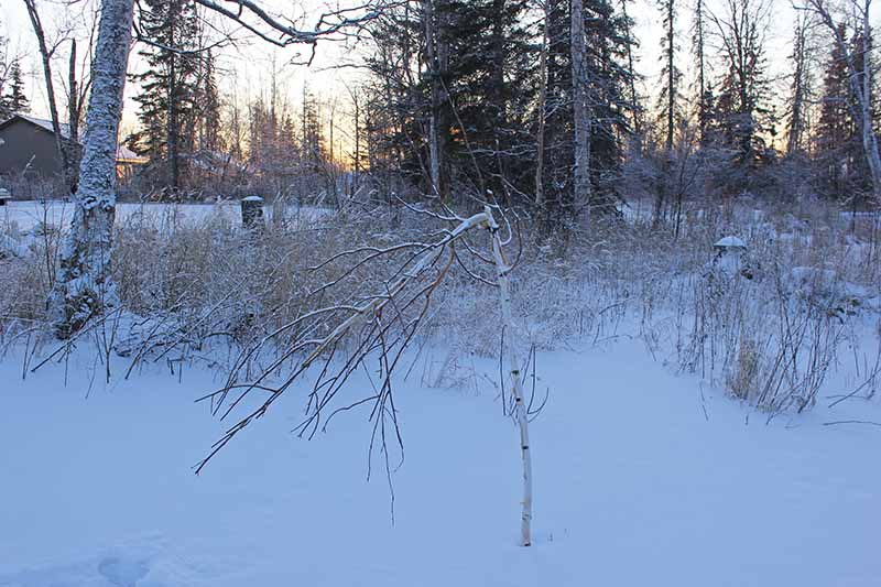 A snowy winter garden scene showing a birch tree that has been damaged by herbivores on a sunset background.