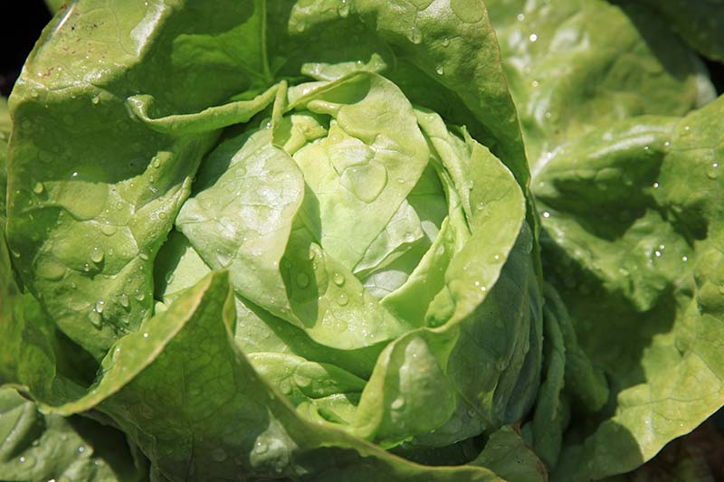 A close up of a butterhead lettuce growing in the garden with water droplets on the leaves, pictured in light sunshine on a dark background.