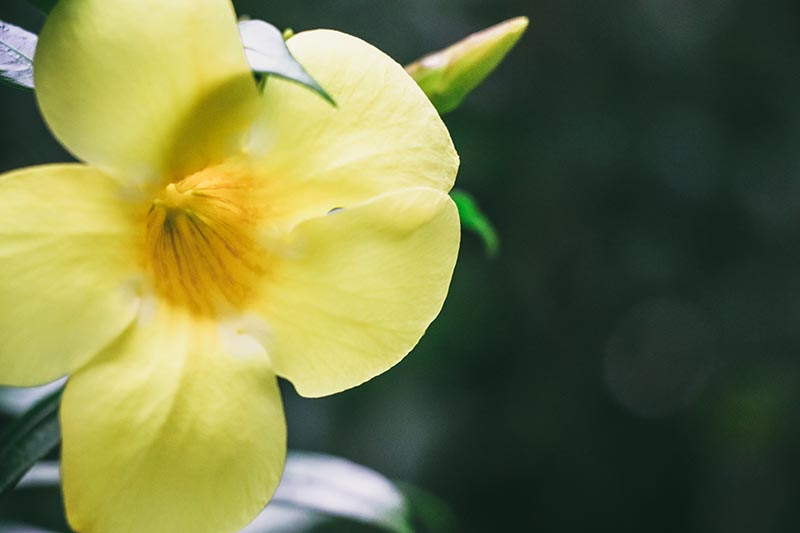 A close up of a bright yellow flower of the Gelsemium sempervirens vine, showing the trumpet shape, on a soft focus dark background.