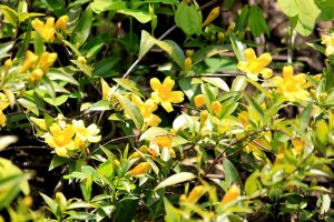 How to Grow Carolina Jessamine