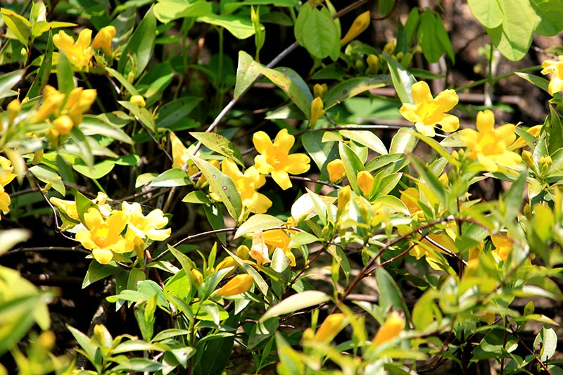 A close up of a Gelsemium sempervirens vine growing in the garden with bright yellow flowers contrasting with the dark green foliage, pictured in bright sunshine, fading to soft focus in the background.