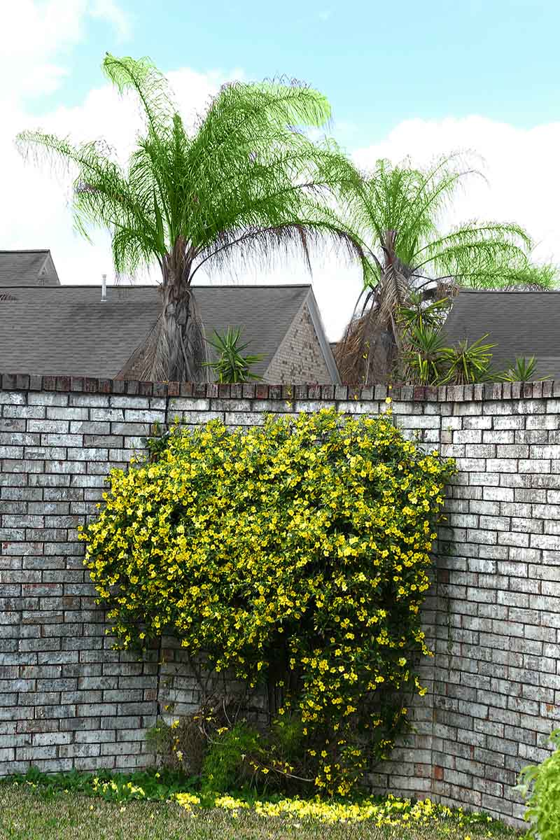 A vertical picture of a light gray brick wall with a Carolina jessamine vine planted in the corner, with bright yellow trumpet shaped flowers contrasting with the dark green foliage. In the background are large trees and some houses against a blue sky.