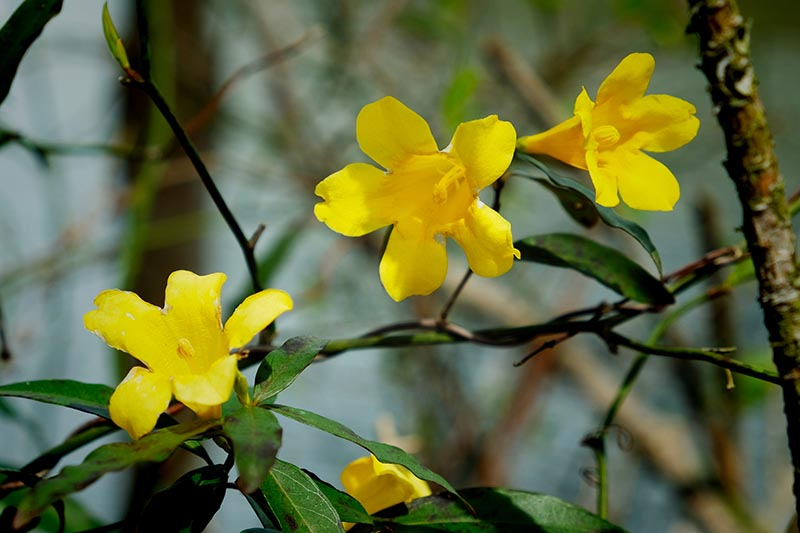 A close up of the bright yellow flowers of Gelsemium sempervirens, surrounded by green foliage in light sunshine, with a soft focus background.