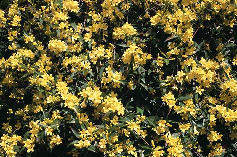 A close up of a Gelsemium sempervirens vine covered in bright yellow flowers and dark green foliage, pictured in bright sunshine, growing in the garden.