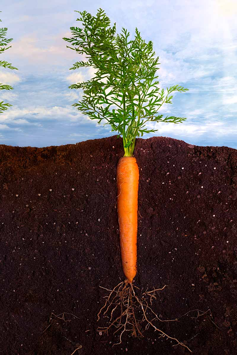 A vertical picture showing a cross section of soil with a carrot growing in it. The deep orange root is straight and has small roots growing from the bottom and leafy green tops above the soil line, with a blue sky background.