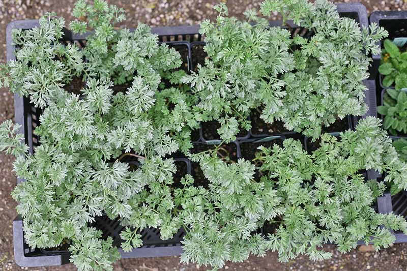 A top down picture of carrot seedlings in small pots set in a black plastic crate on a soft focus background.