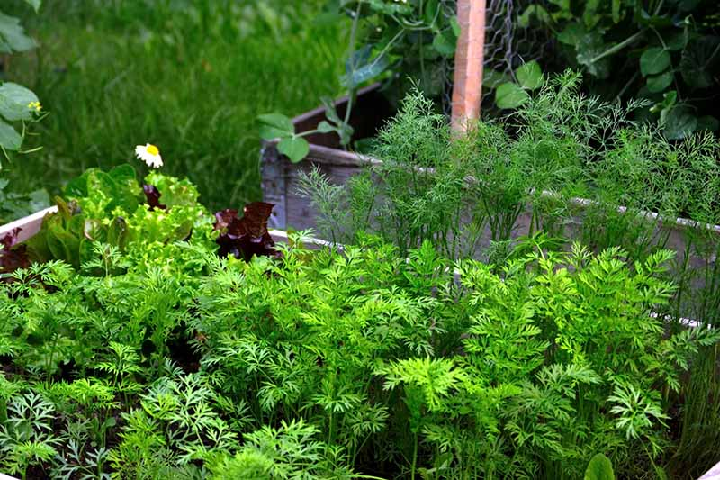 A close up of rows of carrot seedlings growing in an outdoor raised bed with dill plants behind them and a further container in the background in soft focus.