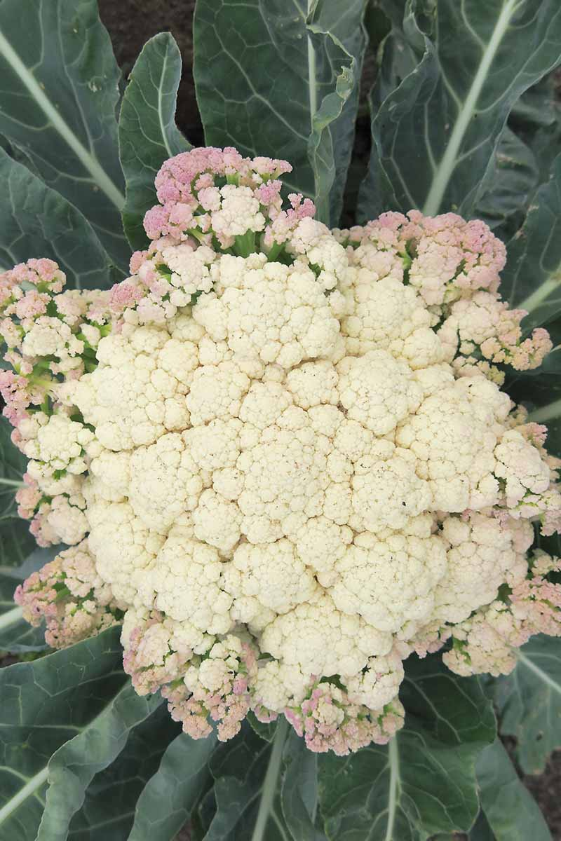A vertical, close up top down picture of a cauliflower head that has creamy white curds in the center and at the edges is turning a light purple color. Surrounded by dark green foliage with pale green stems and veins.