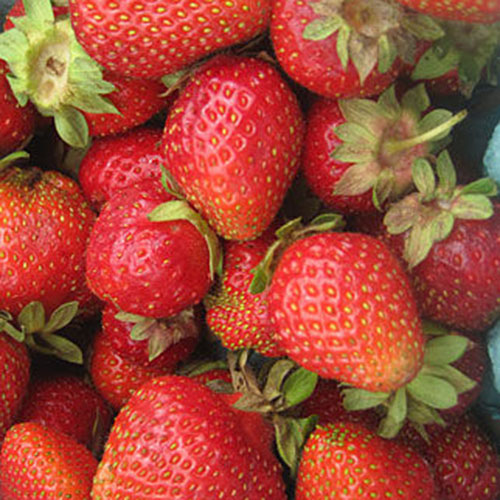 A close up of the bright red ripe fruit of the 'Chandler' variety of strawberries.