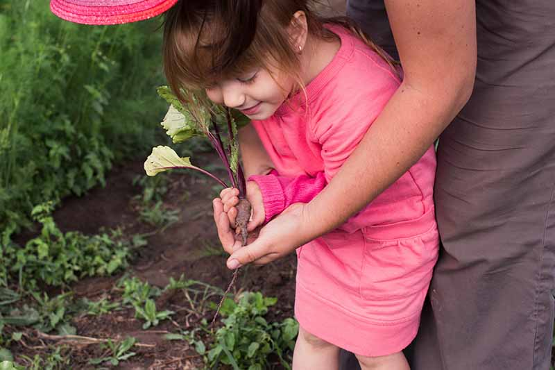 A little girl dressed in pink pulls a beet root from the ground, with a woman behind her.