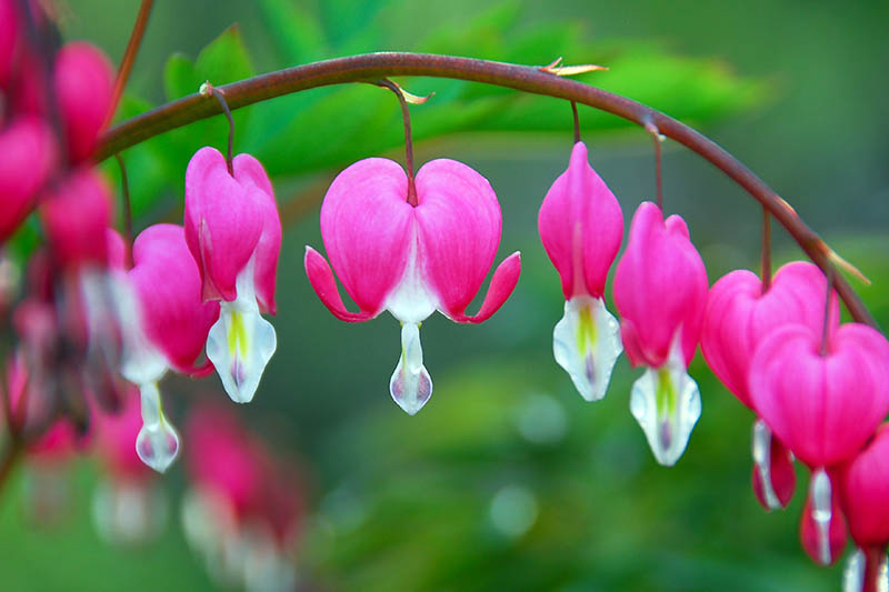 A close up showing pink bleeding heart flowers, with the detail of the white petal at the bottom of the heart-shape on an arching stem, on a soft focus green background.