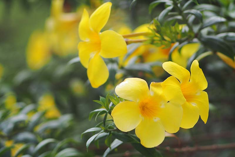 A close up of the bright yellow blooms of the Carolina jessamine vine pictured in light sunshine, surrounded by green foliage on a soft focus background.