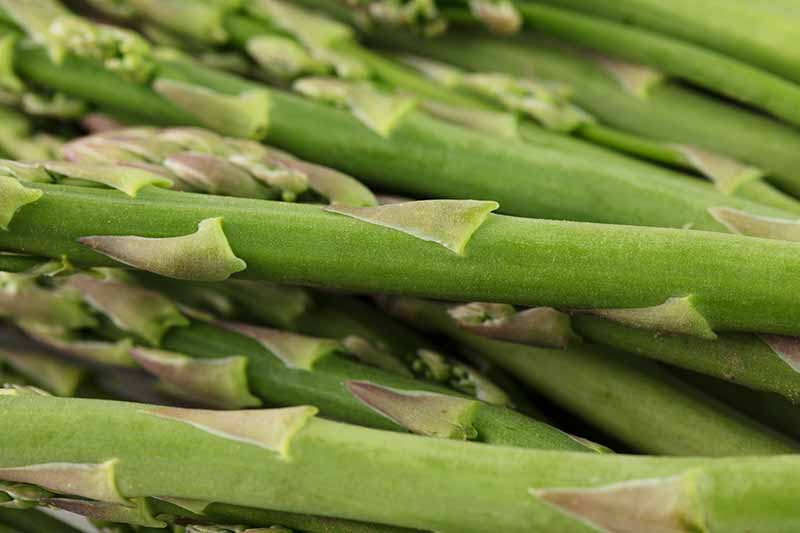 A close up of bright green asparagus spears fading to soft focus in the background.