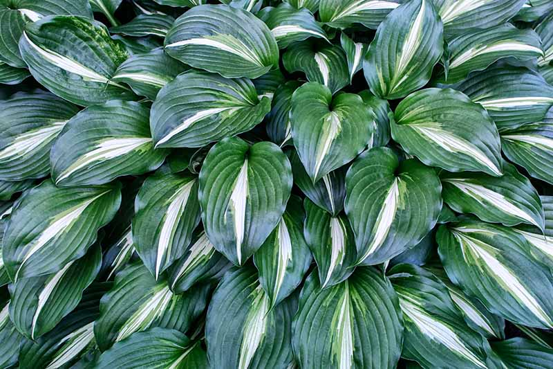 A close up of dark green leaves with a central white stripe of a large hosta plant growing in the garden. The textured leaves are large and heart shaped.