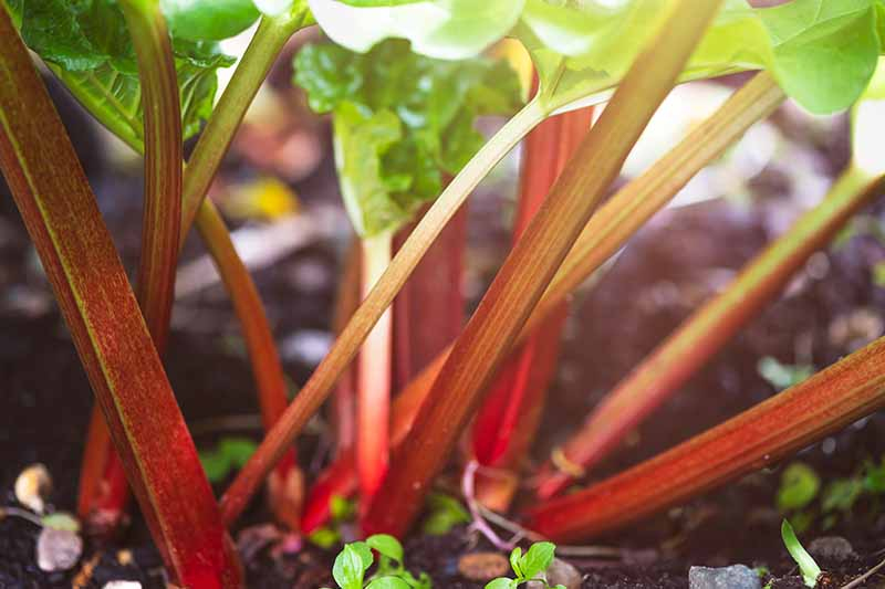 A close up of the red stalks of the rhubarb plant growing in the garden, with bright green foliage on a soft focus background.