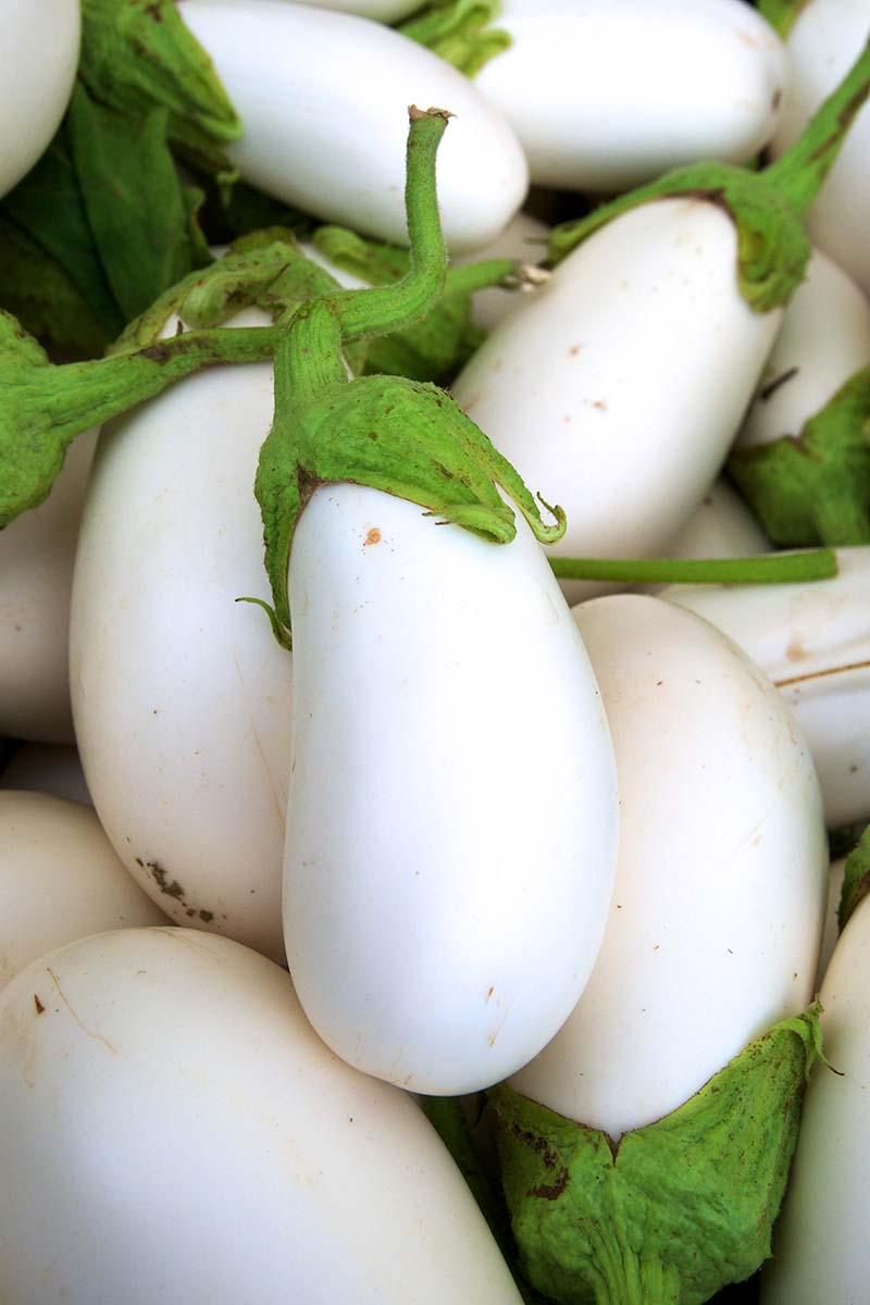 A vertical close up of freshly harvested white aubergines with creamy white skin contrasting with green tops.