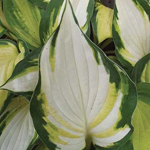 A close up of the leaf of the 'Color Festival' hosta cultivar which is three colored. In the center the leaf is mostly white, with yellow and dark green edging.