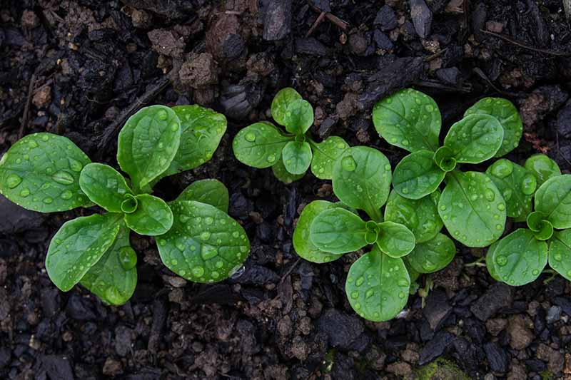 A close up top down picture of small corn salad plants growing in the garden with water droplets on the surface of the leaves with dark mulch surrounding them.