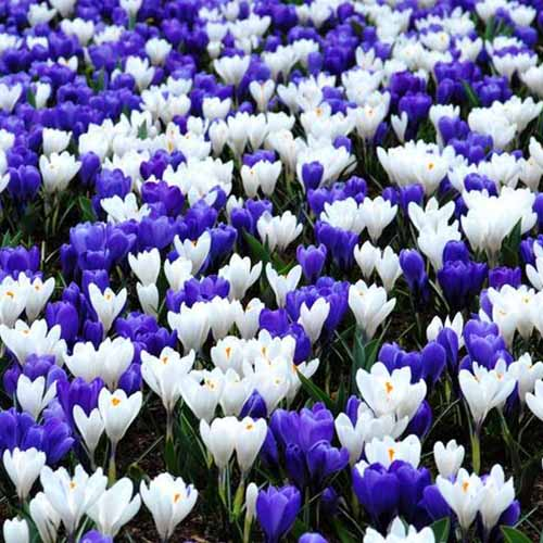 A close up of purple and white flowers growing amongst green foliage.