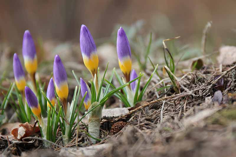 Purple and yellow crocus blooms pushing through the ground on a soft focus background.