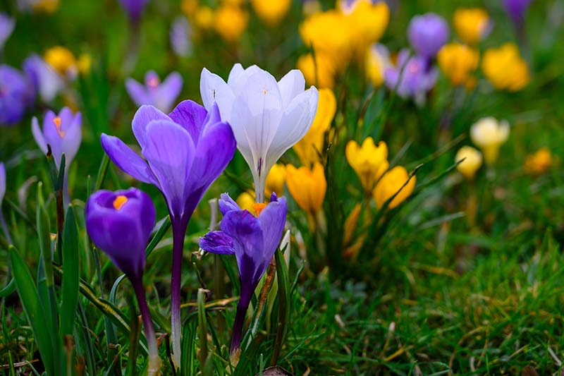 A close up of light and dark purple and yellow C. crysanthus flowers growing in a lawn in the garden in springtime fading to soft focus in the background.