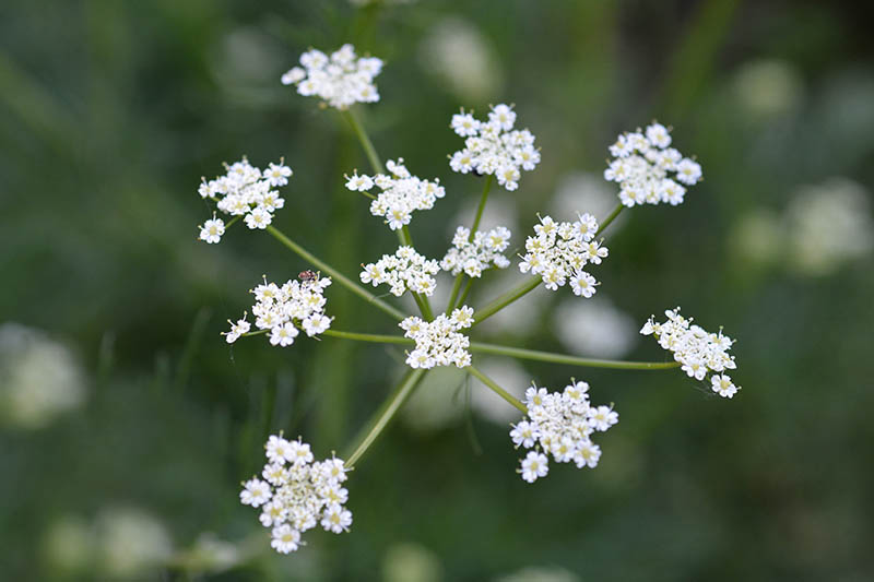 A close up of the tiny white flowers of Cuminum cyminum on delicate green stems on a dark soft focus background.