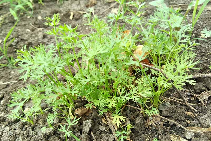 A small young cumin plant growing in the garden with delicate stems and frilly leaves, surrounded by dry and cracked soil.