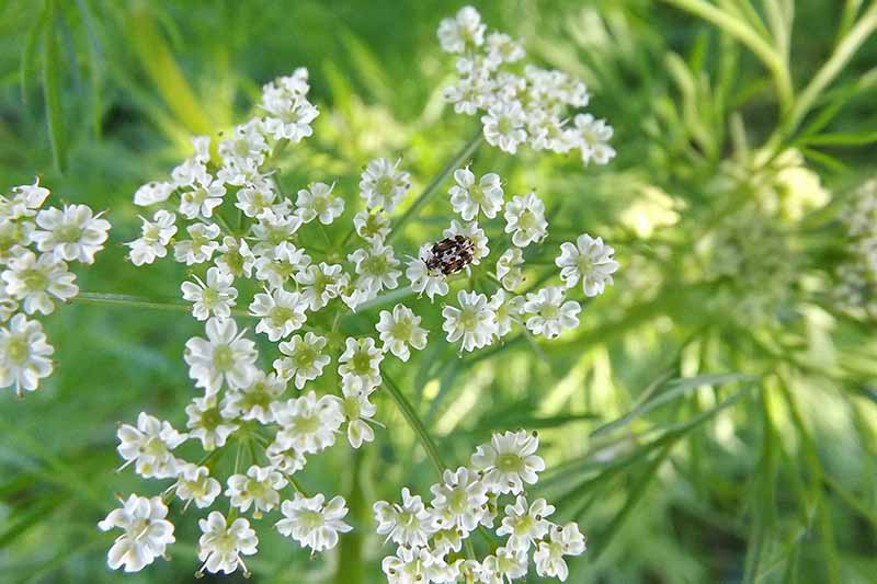 A close up of the white flower of the cumin plant growing on thin, delicate green stems, on a soft focus background.