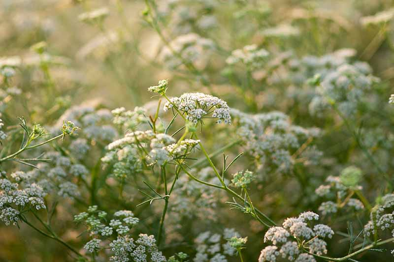 A close up of the Cuminum cyminum plant with tiny white flowers growing on delicate green stems in the garden on a soft focus background.